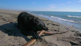 Cão preto que morde uma vara de madeira na praia perto da linha de mar video estoque
