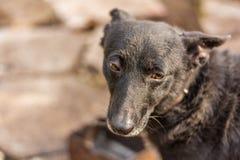 Cão preto que olha triste Imagem de Stock