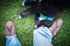 Cão preto que reboca as calças de brim dos homens. Foto de Stock