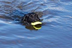 Cão preto que recupera o brinquedo da água Foto de Stock