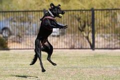 Cão preto que salta no ar para travar uma bola Fotos de Stock Royalty Free