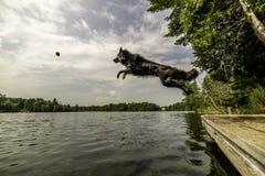 Cão preto que salta no lago após a bola Fotografia de Stock Royalty Free