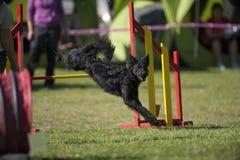 Cão preto que salta sobre o obstáculo amarelo na competição da agilidade Fotografia de Stock
