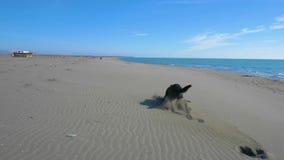 Cão preto que trava uma vara e um corredor de madeira na praia perto da linha de mar vídeos de arquivo