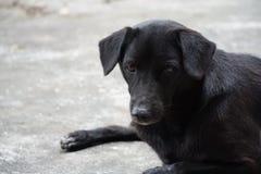 Cão preto tailândia Imagens de Stock
