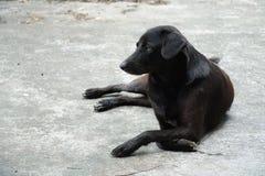 Cão preto tailândia Foto de Stock Royalty Free