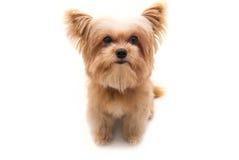 Cão principal grande Foto de Stock