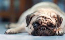 Cão (Pug) Fotografia de Stock Royalty Free