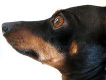 Cão, que a Fotos de Stock Royalty Free