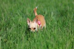 Cão que agacha-se em uma grama Foto de Stock Royalty Free