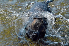 Cão que agita a água fora Imagens de Stock