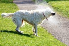 Cão que agita a água fora Imagem de Stock