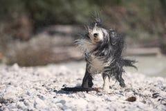Cão que agita fora da água Fotografia de Stock Royalty Free