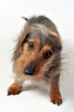 Cão que agita o fora Foto de Stock Royalty Free