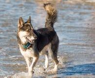 Cão que anda na água na praia foto de stock royalty free