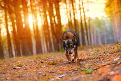 Cão que anda na floresta no por do sol Fotos de Stock