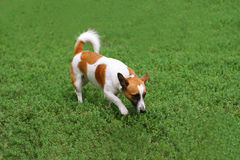 Cão que anda na grama Imagens de Stock Royalty Free