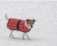 Cão que anda na neve Fotografia de Stock