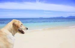 Cão que anda na praia Imagem de Stock Royalty Free