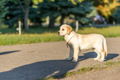 Cão que anda no parque Imagem de Stock