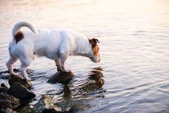Cão que aspira a água Fundo para o erro 404 (página não encontrada) Fotos de Stock Royalty Free