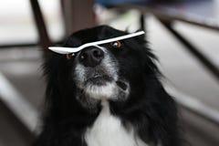 Cão que balança a colher plástica Foto de Stock Royalty Free