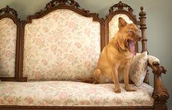 Cão que boceja Imagem de Stock