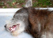 Cão que castra a cirurgia Fotografia de Stock