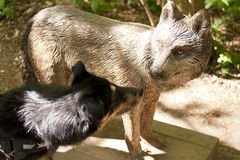 Cão que cheira em Wolf Sculpture imagens de stock