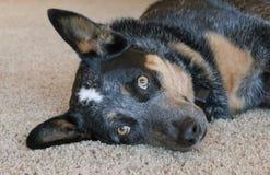 Cão que coloca no tapete Foto de Stock