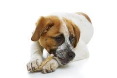 Cão que come o deleite do couro cru Fotos de Stock Royalty Free