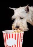 Cão que come a pipoca Fotografia de Stock
