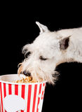Cão que come a pipoca Fotos de Stock
