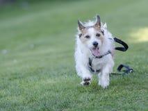 Cão que corre afastado a ligação Imagens de Stock Royalty Free