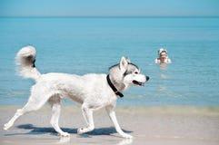 Cão que corre ao longo da sapata do mar Fotografia de Stock Royalty Free