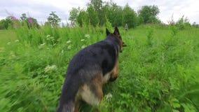 Cão que corre ao longo do campo verde Metragem constante lisa da câmera Movimento lento video estoque