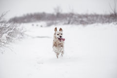 Cão que corre através da neve Fotografia de Stock Royalty Free