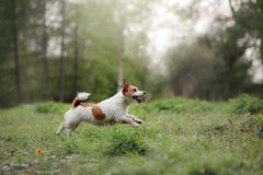 Cão que corre através das madeiras Imagens de Stock