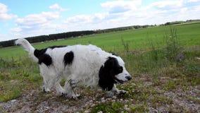 Cão que corre através do campo verde filme