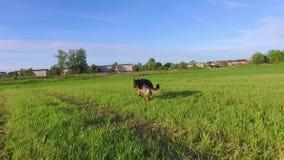 Cão que corre com a vara na boca Metragem constante lisa da câmera filme
