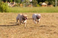 Cão que corre e que joga no campo Imagem de Stock Royalty Free