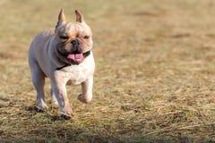 Cão que corre e que joga no campo Fotos de Stock Royalty Free