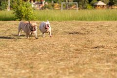 Cão que corre e que joga no campo Imagem de Stock