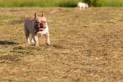Cão que corre e que joga no campo Foto de Stock