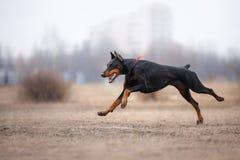 Cão que corre e que joga no parque Imagens de Stock