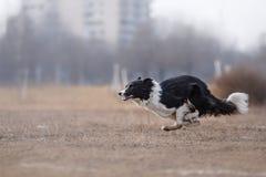 Cão que corre e que joga no parque Imagem de Stock