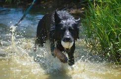 Cão que corre na água com bola Imagens de Stock