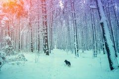 Cão que corre na floresta do inverno Foto de Stock