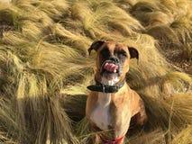 Cão que corre na grama imagens de stock royalty free