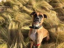 Cão que corre na grama fotos de stock royalty free
